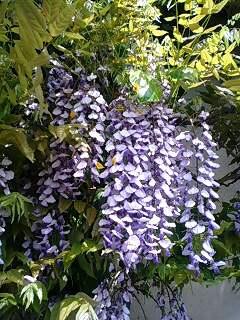 藤の花が咲いている