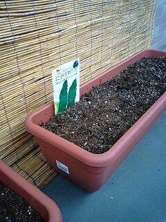 にがうりを植えました