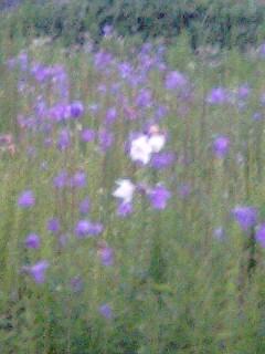 白いキキョウの花