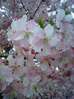 キレイに咲きすぎだよ…。