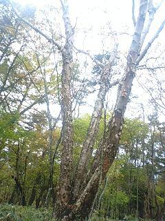 久しぶりの私の木。